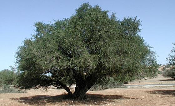 Argan Baum in Marokko