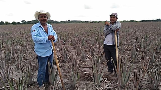 im-naturkosmetik-fairtrade-produzent-aloe-vera-mexiko-bauern