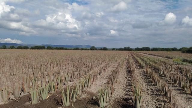 im-naturkosmetik-fairtrade-produzent-aloe-vera-mexiko-feld