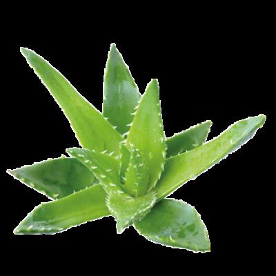 Die Aloe Vera Pflanze ist Rohstoff und natürlicher Inhaltsstoff von i+m Naturkosmetik - fair bio vegan.