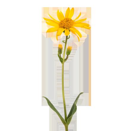 Die Arnika Pflanze ist Rohstoff und natürlicher Inhaltsstoff von i+m Naturkosmetik - fair bio vegan.