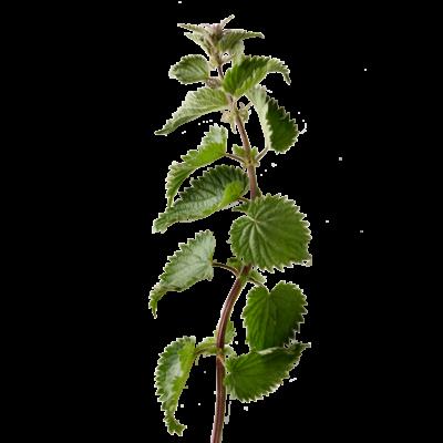 Die Brennnessel Pflanze ist Rohstoff und natürlicher Inhaltsstoff von i+m Naturkosmetik - fair bio vegan.