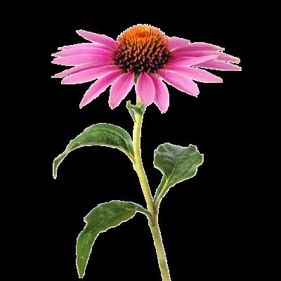 Die Sonnenhut oder Echinacea Pflanze ist Rohstoff und natürlicher Inhaltsstoff von i+m Naturkosmetik - fair bio vegan.