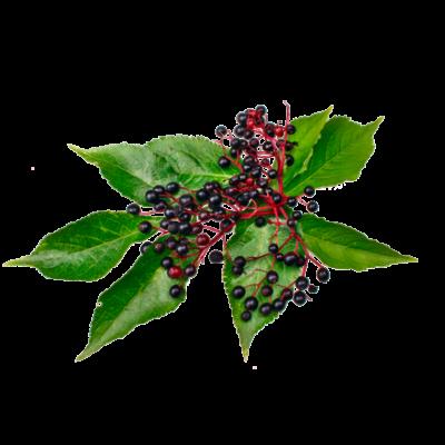 Die Holunder Frucht ist Rohstoff und natürlicher Inhaltsstoff von i+m Naturkosmetik - fair bio vegan.