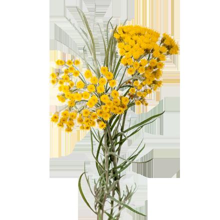 Die Immortelle Pflanze ist Rohstoff und natürlicher Inhaltsstoff von i+m Naturkosmetik - fair bio vegan.