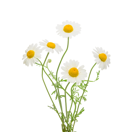 Die Kamille Pflanze ist Rohstoff und natürlicher Inhaltsstoff von i+m Naturkosmetik - fair bio vegan.