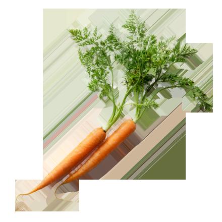 Die Gemüse Pflanze Karotte ist Rohstoff und natürlicher Inhaltsstoff von i+m Naturkosmetik - fair bio vegan.