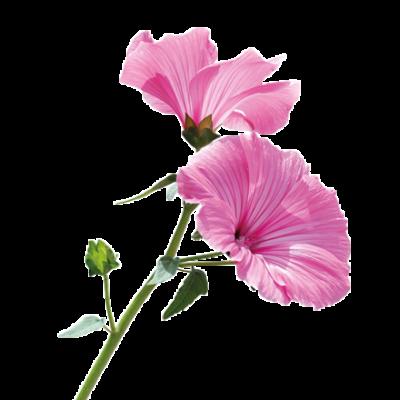 Die Malve Pflanze ist Rohstoff und natürlicher Inhaltsstoff von i+m Naturkosmetik - fair bio vegan.