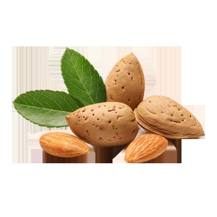 Die Mandel Frucht, bekannt als Mandelnüsse oder Mandelkerne, ist Rohstoff und natürlicher Inhaltsstoff von i+m Naturkosmetik - fair bio vegan.