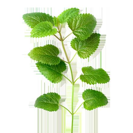 Die Melisse Pflanze ist Rohstoff und natürlicher Inhaltsstoff von i+m Naturkosmetik - fair bio vegan.