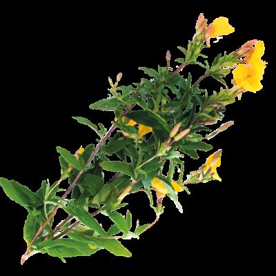Die Pflanze Nachtkerze ist Rohstoff und natürlicher Inhaltsstoff von i+m Naturkosmetik - fair bio vegan.