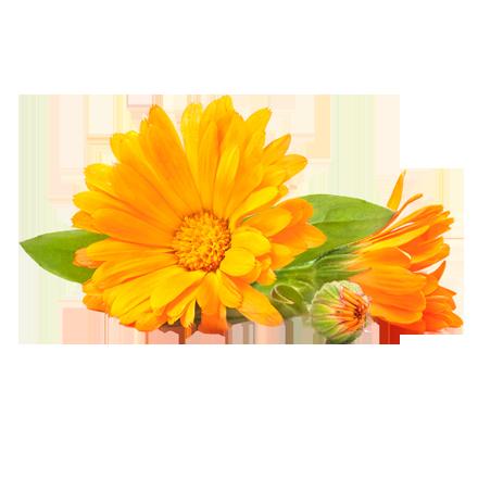 Die Ringelblume bzw. Calendula Pflanze ist Rohstoff und natürlicher Inhaltsstoff von i+m Naturkosmetik - fair bio vegan.
