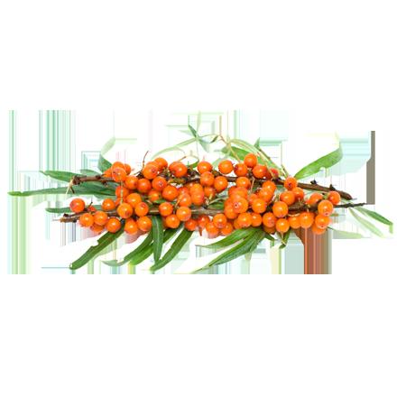 Die Sanddorn Pflanze ist Rohstoff und natürlicher Inhaltsstoff von i+m Naturkosmetik - fair bio vegan.