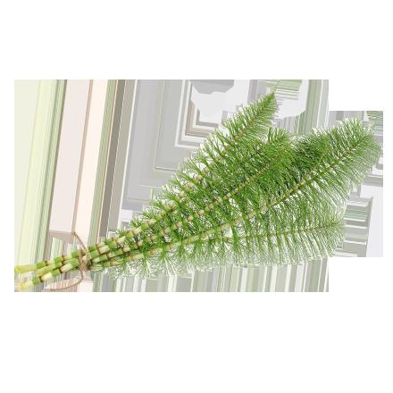 Die Schachtelhalm Pflanze ist Rohstoff und natürlicher Inhaltsstoff von i+m Naturkosmetik - fair bio vegan.