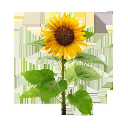 Die Pflanze Sonnenblume ist Rohstoff und natürlicher Inhaltsstoff von i+m Naturkosmetik - fair bio vegan.