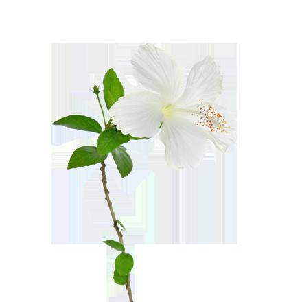 Die Pflanze Weisser Hibiskus ist Rohstoff und natürlicher Inhaltsstoff von i+m Naturkosmetik - fair bio vegan.