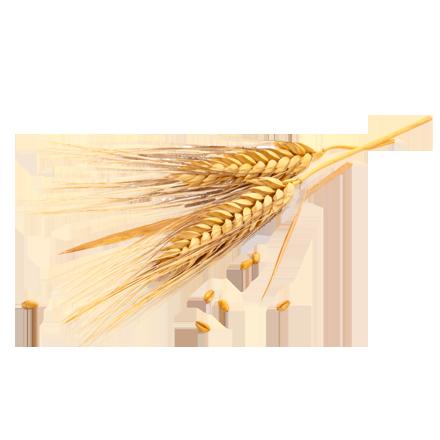 Das Getreide Weizen ist Rohstoff und natürlicher Inhaltsstoff von i+m Naturkosmetik - fair bio vegan.