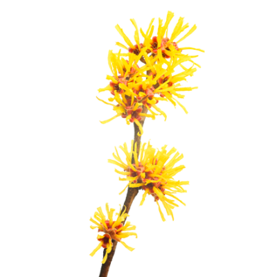 Die Zaubernuss Pflanze ist Rohstoff und natürlicher Inhaltsstoff von i+m Naturkosmetik - fair bio vegan.