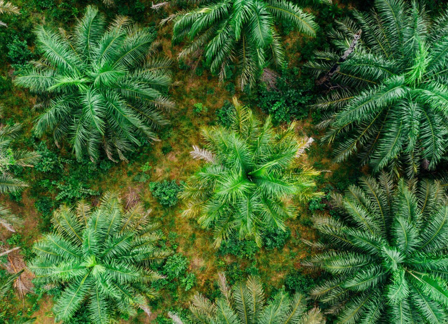 Palmöl Plantage Luftaufnahme